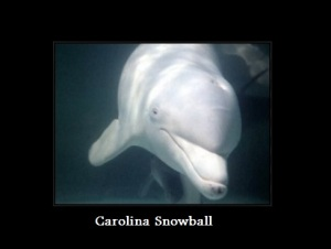 Carolina Snowball